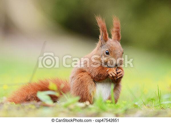 squirrel; - csp47542651