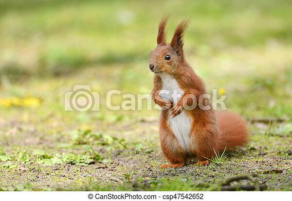 squirrel - csp47542652