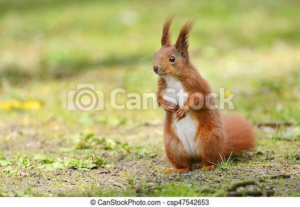 squirrel - csp47542653
