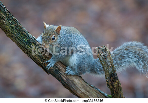 Squirrel - csp33156346