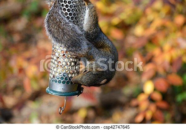 Squirrel - csp42747645