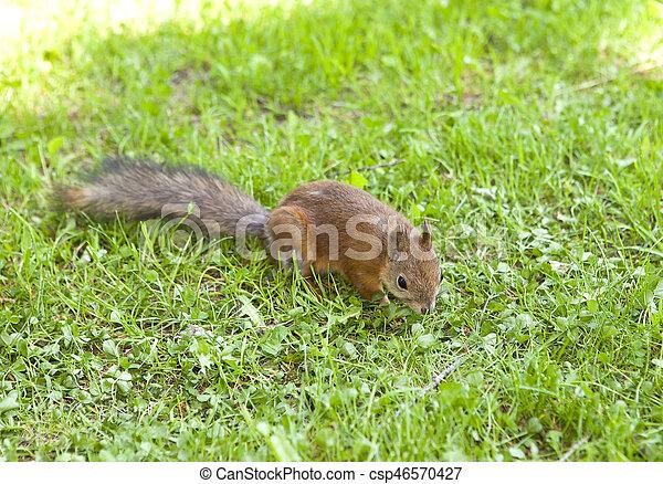 squirrel - csp46570427