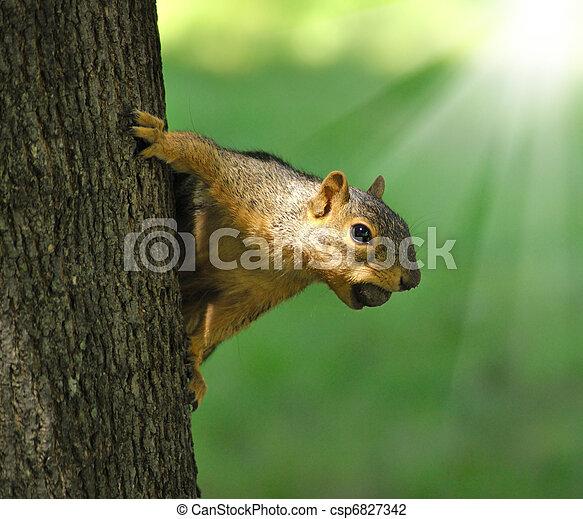 squirrel - csp6827342