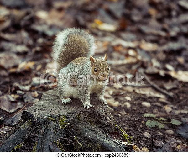 Squirrel - csp24808891