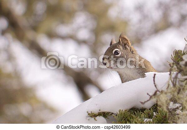 Squirrel - csp42603499