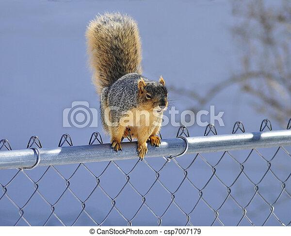 squirrel - csp7007179