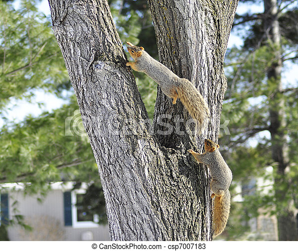 squirrels - csp7007183
