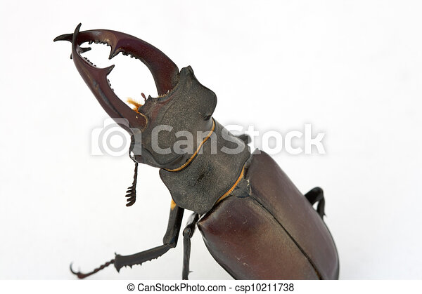 Stag beetle (Lucanus cervus) - csp10211738