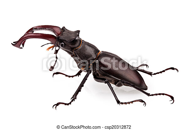 stag-beetle - csp20312872
