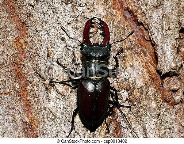 stag beetle - csp0013402