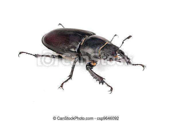(stag, lucanus, weibliche , cervus, beetle) - csp9646092
