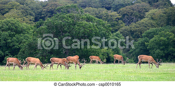 stags grazing - csp0010165