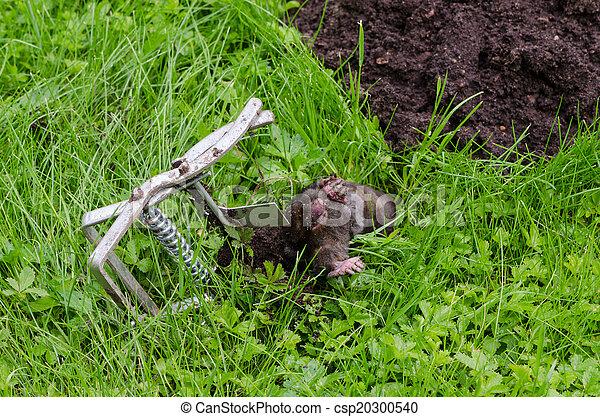 maulwurf toten stahl lie gefangen tot mole hill falle stockfoto gefunden