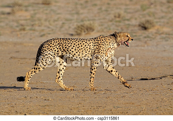 Stalking Cheetah - csp3115861