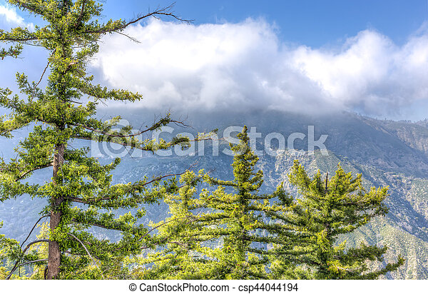 Stand of Sugar Pines in the San Gabriel Mountains - csp44044194