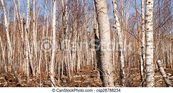Stand of trees in winter - csp28788234