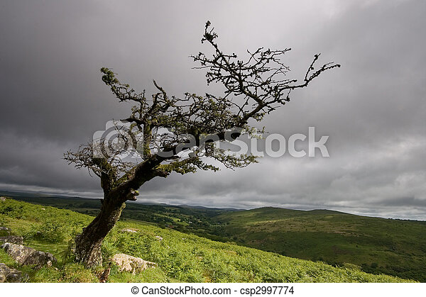 Standing alone an old tree on Dartmoor. - csp2997774