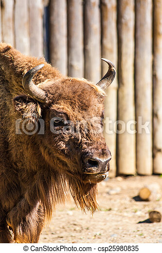 Standing american bison in zoo - csp25980835