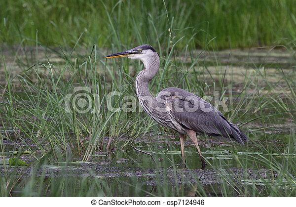 Standing Great Blue Heron - csp7124946