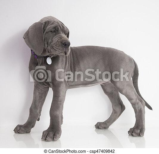 standing great dane puppy purebred gray great dane puppy standing