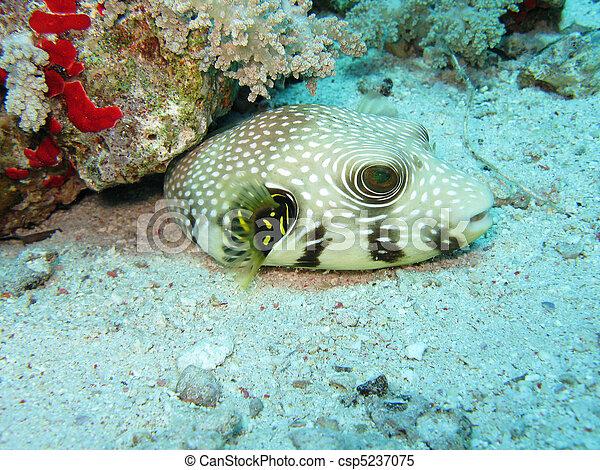 Star Puffer Fish - csp5237075