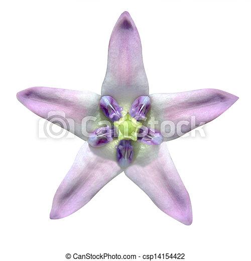Star shaped exotic flower isolated on white star shaped exotic pink star shaped exotic flower isolated on white csp14154422 mightylinksfo