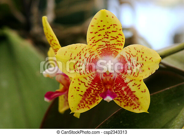 Star Shaped Yellow Orchid Yellow Orchid With Red Spots And Star Shape
