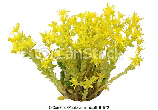 Star wild flower yellow star flower isolated on white background star wild flower csp6161572 mightylinksfo