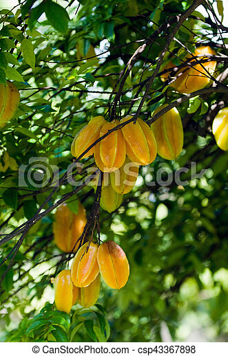 Picture Of Carambola Star Fruit