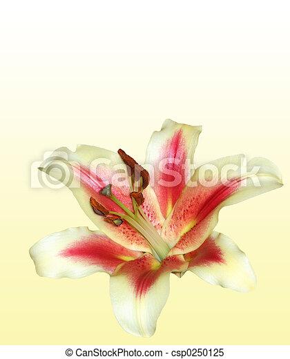 Stargazer Lily - csp0250125