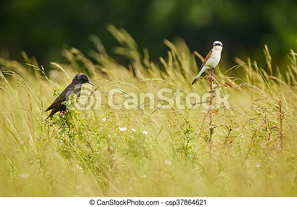 Starling and red backed shrike in the grass - csp37864621