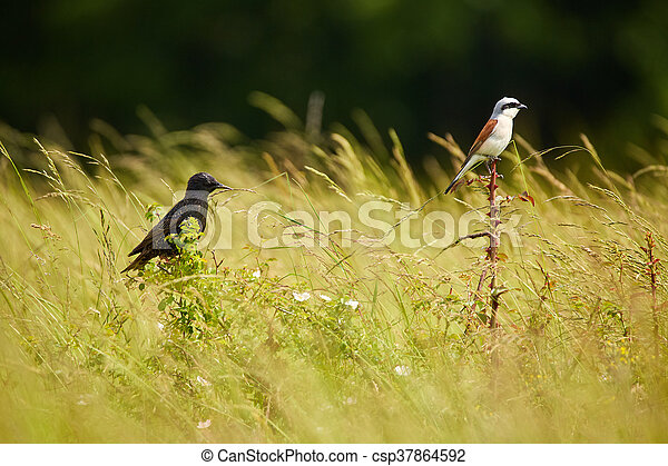 Starling and red backed shrike in the grass - csp37864592