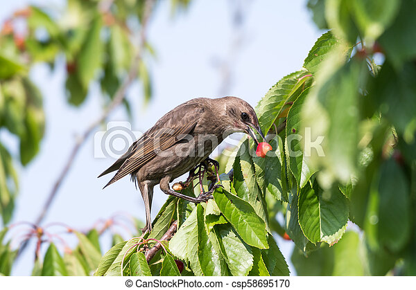 Starling eats ripe cherries - csp58695170