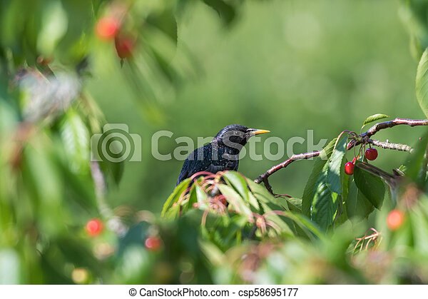 Starling hides in a cherry tree - csp58695177