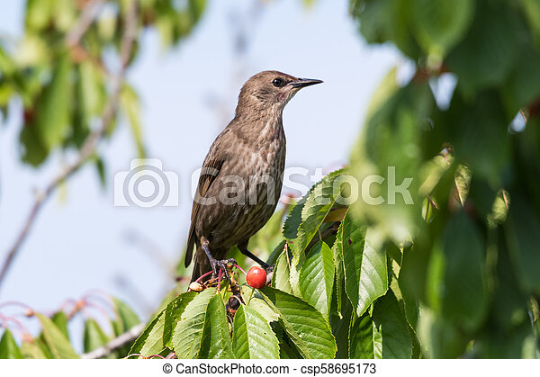 Starling in a cherry tree - csp58695173