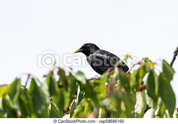 Starling on a cherry tree branch - csp58695160