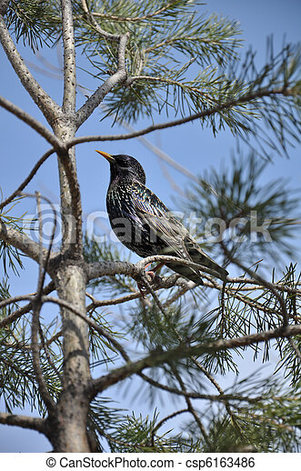 Starling on a pine tree on a background of blue sky - csp6163486