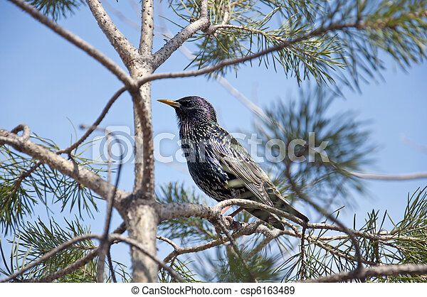 Starling on a pine tree on a background of blue sky - csp6163489
