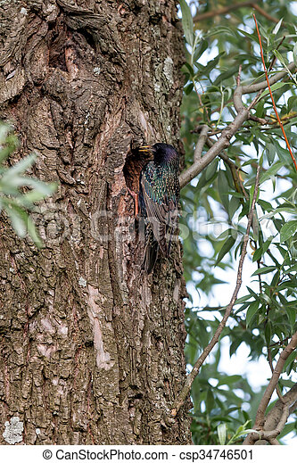 Starling on the tree - csp34746501