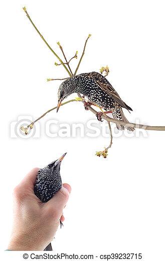 Starling - csp39232715