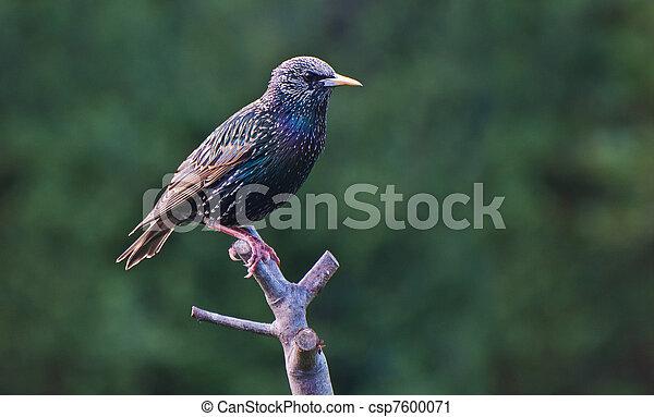 Starling - csp7600071