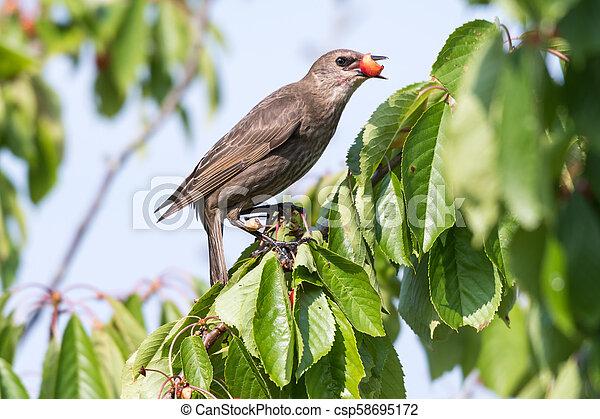 Starling stealing ripe cherries - csp58695172