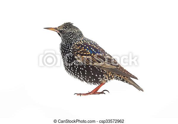 Starling - csp33572962