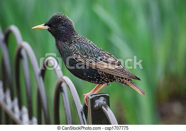 Starling - csp1707775