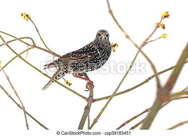 Starling - csp39183451