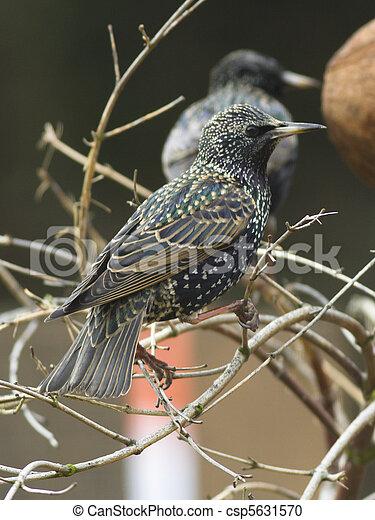 Starling - csp5631570