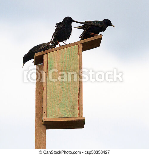 Starlings on a wooden birdhouse - csp58358427
