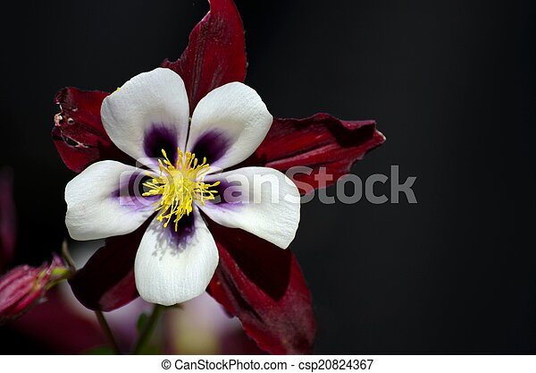 Staubblatt, blütenblatt, weiße blume, gelber . England,... Stockbild ...