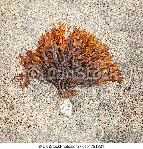 steen, zeewier, noordelijk, plakkerig - csp4791281