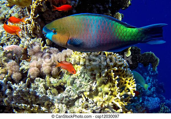 Steephead Parrotfish - csp12030097